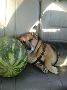 The Corgi Who Used a Watermelon as a Pillow | The 40 Most Important Corgis Of 2015