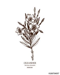 Vector: Botanical illustration of Oleander. Vintage Hand drawn sketch of poisonous plant - Nerium oleander.