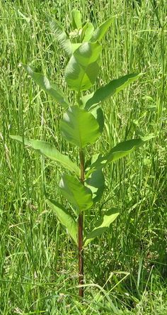 How to Tell Milkweed from Dogbane when Foraging