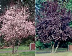 Flowering Plum 'Thundercloud', 15 x 20.  Pink spring bloom, crimson leaf color.