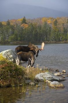 [Do you know where to find moose in Maine?]       **  Sure, if you see a pair of moose, you found em ! ""
