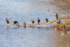 Schwarze Entenvögel am Göttinger Kiessee