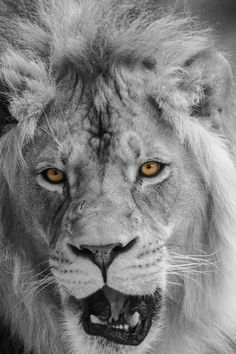 Black and White Lion with Yellow eyes at Hogle Zoo, utah