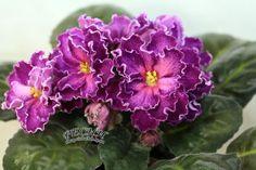 African Violet Saintpaulia RS Grafinia DE Monsoro Young Plant | eBay