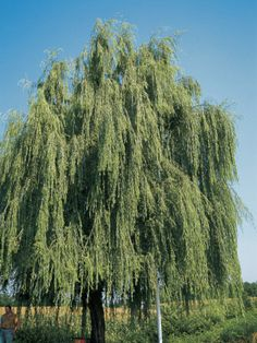size: Photographic Print: Poster of A. Curzi by A. Weeping Trees, Weeping Willow, Willow Tree, Tree Hd Wallpaper, Brick Patterns Patio, Fear Of The Unknown, Deciduous Trees, Brick And Stone, Yard Design