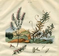 """guerin botanicals french 1851 hand coloured engraving 6.5 x 6.5"""" $25"""