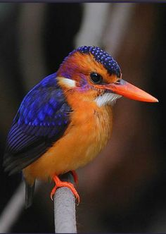 African Pygmy-Kingfisher (Ceyx pictus)