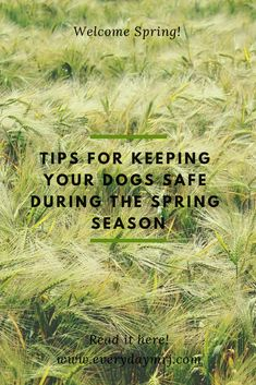 Tips for Keeping Your Dogs Safe During the Spring Season. Springtime brings on a whole new set of challenges that dog owners often forget about during the cozy winter months! Fur Goods, Wooden Dog House, Frozen Dog Treats, Madison Rose, Astro Turf, Cattle Dogs, Kiddie Pool, Weed Killer, Dog Runs