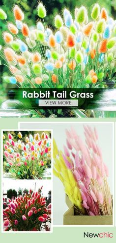 Egrow 100Pcs/Pack Rabbit Tail Grass Seeds Rainbow Color Garden Bunny Tail Grass Decor Plants.
