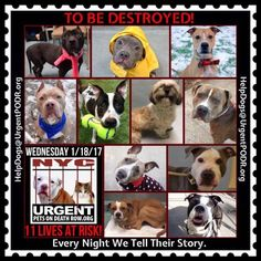 "#NYCACC. #URGENT 11 BEAUTIFUL LIVES TO BE DESTROYED 01/18/17  10 BEAUTIFUL LIVES TO BE DESTROYED 01/14/17 @ NYC ACC **SO MANY GREAT DOGS HAVE BEEN KILLED: Puppies, Throw Away Mamas, Good Family Dogs. This is a HIGH KILL ""CARE CENTER"" w/ POOR LIVING CONDITIONS. Please Share: To rescue a Death Row Dog, Please read this:  http://information.urgentpodr.org/adoption-info-and-list-of-rescues/"