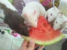 Watermelon is a hit! #aww #cute #rat #cuterats #ratsofpinterest #cuddle #fluffy #animals #pets #bestfriend #ittssofluffy #boopthesnoot
