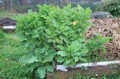 Brassicae oleracea convar acephala, Chou perpétuel 0315 re