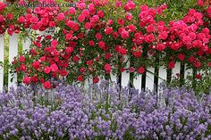 beautiful flowers on fences | flowers big pictures nice