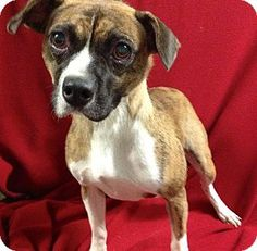 Hudson, NH - Boxer/Boston Terrier Mix. Meet Cherrish a Dog for Adoption.