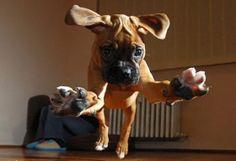 Boxer puppy attack