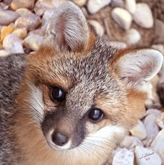 grey fox - what a darling face.