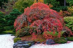 Flowering Trees For Zen Garden Ideas Zen Meditation, Acer Garden, Emerald Arborvitae, Nikko Blue Hydrangea, Types Of Shrubs, Shrubs For Privacy, Fast Growing Shrubs, Red Twig Dogwood, Small Yellow Flowers