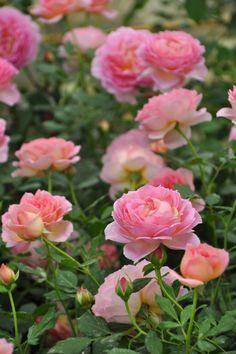 'Jubilee Celebration'    Shrub.  English Rose Collection.  Production 2002 United Kingdom David Austin