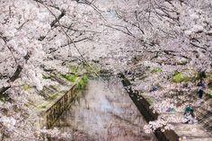 Sakura+Covered+River