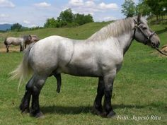 Hungarian Coldblood stallion Pereked-113 Baka