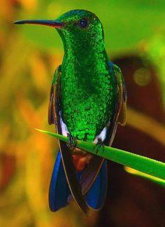 colibries verde y azul