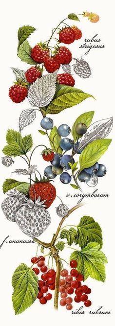 Botanical Berries (Mary Lake Thompson)