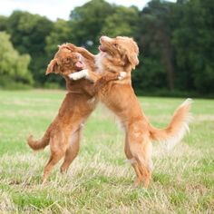 6 month old Tollers playing - now I know from which breed Dixon gets his way of playing with other dogs