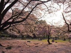 cherry blossoms @ Yoyogi Park