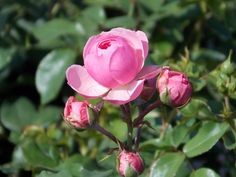 Pomponella Fairy Tale Rose features showy fragrant pink flowers at the ends of the stems from late spring to early fall.