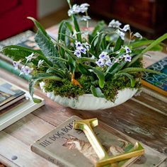 Streptocarpus in a bowl at home