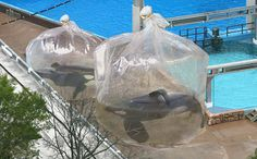 Holding Orcas in Plastic Bags While You Clean Tanks Is Not OK, SeaWorld