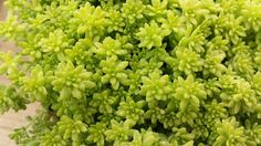 Succulent Plant Sedum Gold Moss. Bright and beautiful cover plant. by SucculentOasis on Etsy https://www.etsy.com/listing/230646534/succulent-plant-sedum-gold-moss-bright