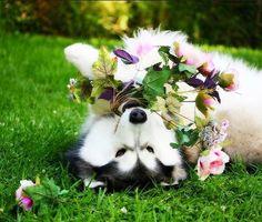 Huskies #siberianhusky