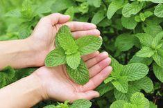Douze plantes efficaces contre les moustiques