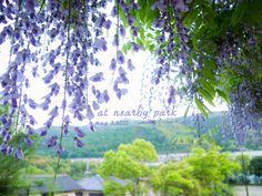 道のりを記憶に残して: ご近所の5月の花、藤とツツジとハナミズキ/花・ガーデニング