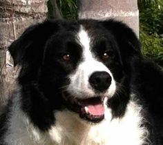 Meet+MACAULEY,+a+Petfinder+adoptable+Border+Collie+Dog+|+San+Luis+Rey,+CA+|+AVAILABLE+FOR+ADOPTION!Meet+Macauley!+He+is+a+playful+and+intelligent+3-4+year+old+neutered+male...