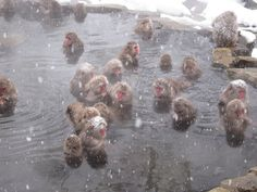 Japanese macaques in hot springs  #animal