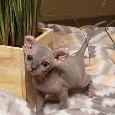 Kittens Cutest, Cats And Kittens, Cute Cats, Pretty Cats, Beautiful Cats, Cute Baby Animals, Animals And Pets, Cute Hairless Cat, Elf Cat