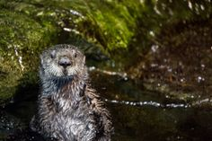 Sea otters are known for holding hands, floating on their backs and being downright adorable, but they're also an endangered species. Here are 5 things you 'otter' know about these favorite furry aquatic animals: