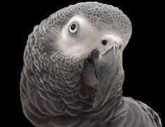 African Grey Parrot by KoolPix, via Flickr