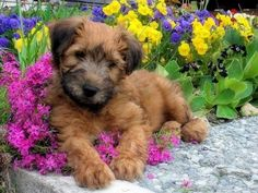 Wheaten puppy!