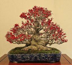 Bonsai 1652
