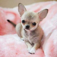 So cute! #chihuahua