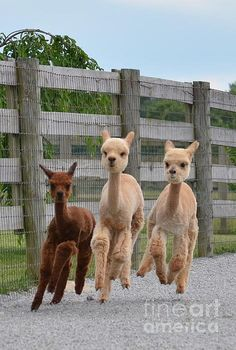 Deviating from the normal cat programming, here are some galloping baby alpacas. (via Sharon Miller)