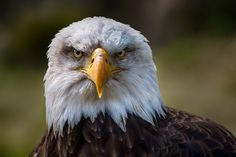 """Please """"M"""" or click on the photo for better view  The bald eagle (Haliaeetus leucocephalus, from Greek hali """"sea"""", aiētos """"eagle"""", leuco """"white"""", cephalos """"head"""") is a bird of prey found in North America. A sea eagle, it has two known sub-species and forms a species pair with the white-tailed eagle (Haliaeetus albicilla). Its range includes most of Canada and Alaska, all of the contiguous United States, and northern Mexico. It is found near large bodies of open water with an abundant food…"""
