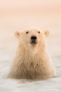 Ours - Blanc - Banquise                                                                                                                                                      Plus Zoo Animals, Cute Baby Animals, Animals And Pets, Beautiful Sea Creatures, Animals Beautiful, Rennes Animal, Cute Polar Bear, Polar Bears, Photo Ours