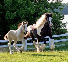 gypsy vanner | Gypsy Vanners, Gypsy Horses for sale, Gypsy Cobs and Gypsy Stallions
