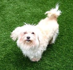 ***Evidence of Cruelty seen – neglected, very matted fur *** super urgent  -PARIS – A1111168    FEMALE, WHITE / CREAM, POODLE MIN / MALTESE, 9 yrs  OWNER SUR – Reason PERS PROB