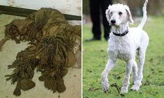 2 weeks ago puppy was barely able to stand-filthy & caked in mud did not know his coat was WHITE  http://www.dailymail.co.uk/news/article-2941188/What-transformation-Abandoned-poodle-cross-puppy-terrible-state-rescuers-barely-tell-dog-bounces-picture-health-just-two-weeks-later.html