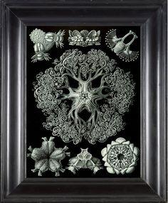 JELLYFISH PRINT Ernst Haeckel 8X10 Art Print 10 by FleurDeNature